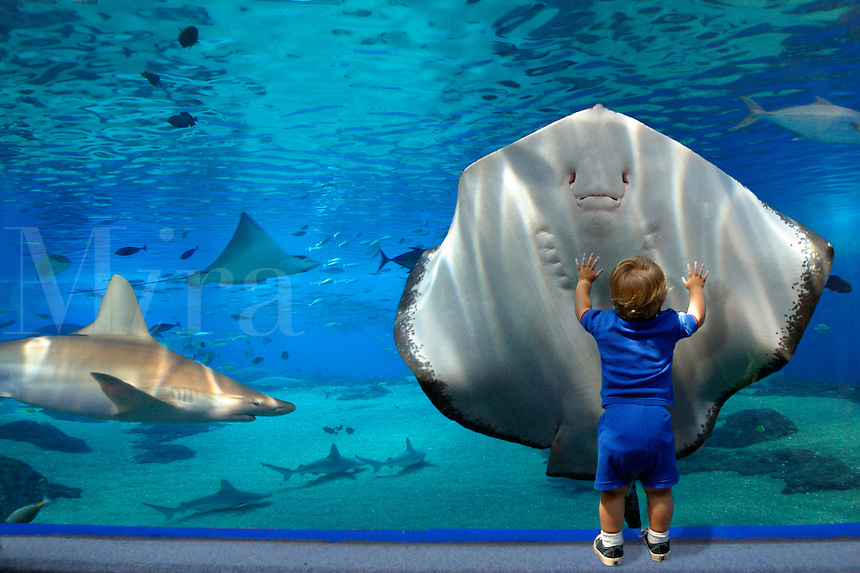 The ?walk through tunnel? at the Maui Ocean Center.  Besides the Brown stingray [Dasyatis latus] a sandbar shark [Carcharhinus plumbeus] and spotted eagle ray [Aetobatus narinari]  are pictured.  Hawaii. marine, boy, wonder, humor, aquarium