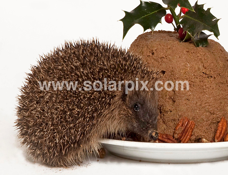 **ALL ROUND PICTURES FROM SOLARPIX.COM**.**NO UK NEWSPAPER PUBLICATION**.**UK MAGAZINE & SUPPLEMENT PUBLICATION ONLY** AND NO PUBLICATION IN AUSTRALIA, BELGIUM, FRANCE, GERMANY, ITALY, SCANDINAVIA AND USA** .Staff at St Tiggywinkles Wildlife hospital are busy making Christmas puddings for over 400 hedgehogs that will spend Christmas day at the hospital this year...The 45 homemade puddings are made using 180 tins of pedigree chum puppy food, 2 kilos of Whiskas kitten biscuits and 1 kilo of Pecan nuts...Les Stocker,founder of St Tiggywinkles said, 'Most of the hedgehogs we have had to take in and care for overwinter are too small to hibernate .and need supporting with a good boring dog food.But as a Christmas treat we pull out the stops and make them Christmas puddings of very special Pedigree Puppy Chum, Hills special Diet dog food, Whiskas kitten biscuits and Christmas nuts which are pecan nuts. Then it's back to boring old standard dog food after the festive season. We have over 300 hedgehogs in for the winter, jammed into every crook and cranny in the hospital'. London, UK. 22 December 2009..This pic: Hedgehog Christmas..JOB REF: 10422 SFE       DATE: 22_12_2009.**MUST CREDIT SOLARPIX.COM OR DOUBLE FEE WILL BE CHARGED**.**MUST NOTIFY SOLARPIX OF ONLINE USAGE**.**CALL US ON: +34 952 811 768 or LOW RATE FROM UK 0844 617 7637**