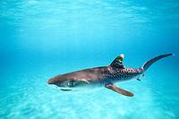 tiger shark, Galeocerdo cuvier, pup, Bimini, Bahamas, Caribbean Sea, Atlantic Ocean (cr)