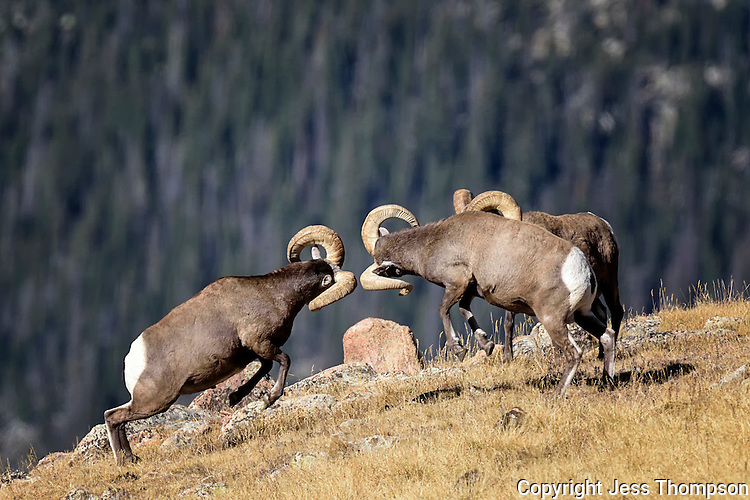 Bighorn Rams fighting, Rocky Mountain National Park, Colorado