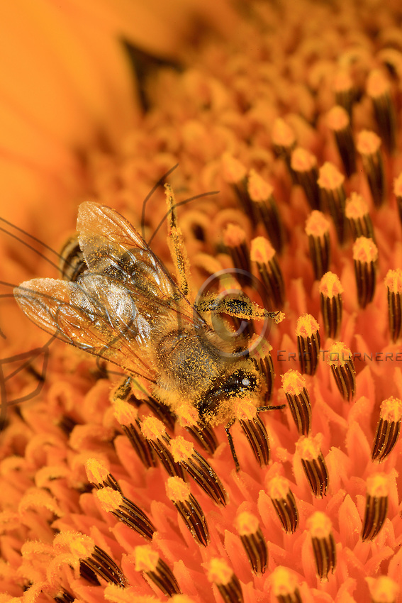 A bee full of pollen collecting it from the pistils of a sunflower.