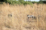 Warthog Family Grazing in the Grasses of Chobe National Park in Botswana in Africa
