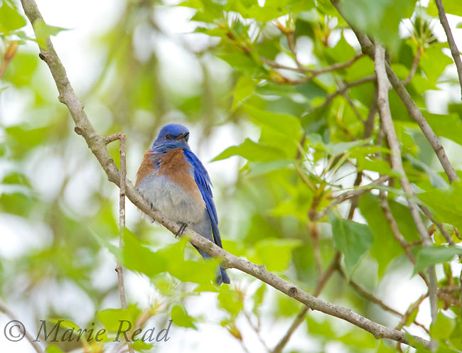 Western Bluebird (Sialia mexicana) male perched amid leaves in spring, Orange County, California