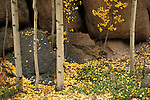 Autumn quaking aspen (Populus tremuloides) and rocks, Pike National Forest, Colorado