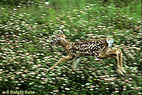 MA11-049z  White-tailed Deer - fawn running in meadow of flowers - Odocoileus virginianus
