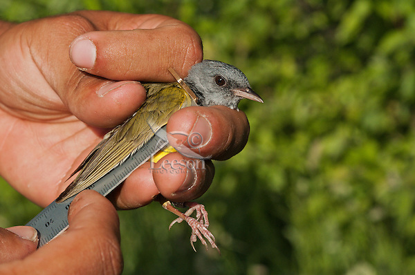 Mourning Warbler (Oporornis philadelphia) being measured during spring bird banding at Ottawa National Wildlife Refuge, Lake Erie, Ohio. USA.
