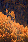 Groves of golden quaking aspen (Populus tremuloides) in South Canyon in Saddle Mountain Wilderness area in the Kaibab National Forest, Arizona, USA