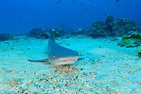 Triaenodon obesus, Weissspitzen Riffhai am Meeresboden,, Whitetip reef shark on seafloor, Insel Cocos, Costa Rica, Pazifik, Pazifischer Ozean, Cocos Island, Costa Rica, Pacific Ocean