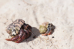 Gardens of the Queen, Cuba; a pair of hermit crabs on a sandy beach during a sunny afternoon