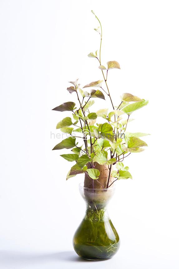 patate douce (Ipomoea batatas) en vase de forçage // sweet potato (Ipomoea batatas) in a vase