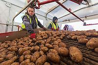 Harvesting potatoes - Yorkshire, September