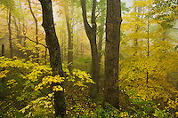 Fog and autumn forest, Proposed Grandfather National Scenic Area, Pisgah National Forest, North Carolina
