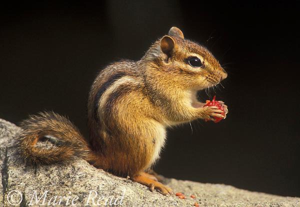 Eastern Chipmunk (Tamias striatus) eating raspberry, New York, USA  <br /> Slide #M14-34