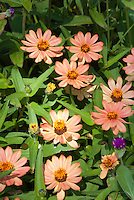 Zinnia angustifolia x elegans 'Profusion Apricot' blooming in summer