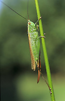 Long-winged Conehead - Conocephalus discolor