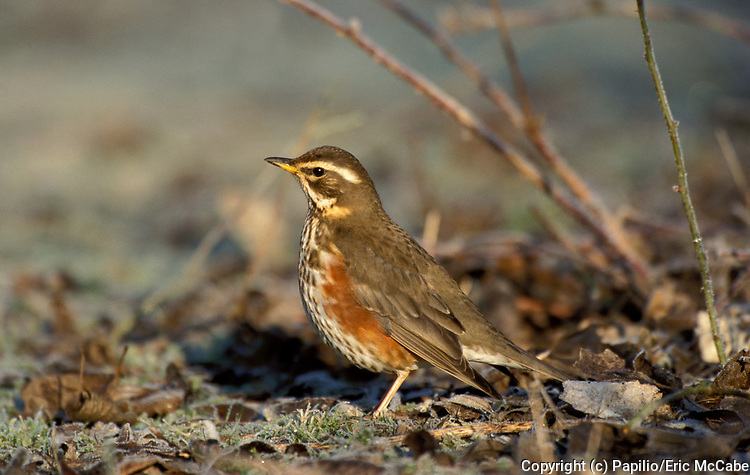 Redwing, Turdus iliacus, on frost covered ground, autumn leaves, Lee Valley.