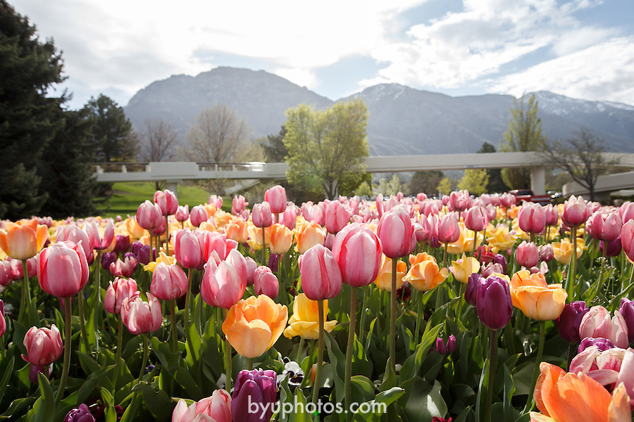 1305-51 099<br /> <br /> 1305-51 GCS Spring<br /> <br /> Brigham Young University - Spring Flowers, Tulips, yellow, pink, purple, garden, blossoms, Marriott Center walkway, bridge, mountains<br /> <br /> April 30, 2013<br /> <br /> Photo by Jaren Wilkey/BYU<br /> <br /> &copy; BYU PHOTO 2013<br /> All Rights Reserved<br /> photo@byu.edu  (801)422-7322