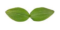 Common Twayblade - Neottia ovata