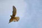 Common Kestrel (Falco tinnunculus), Alps, Italy
