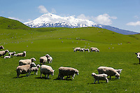 New Zealand, North Island, Ruapehu District, Tongariro National Park: Sheep grazing beneath Mount Ruapehu | Neuseeland, Nordinsel, Ruapehu District, im Tongariro National Park: kleine Schafherde vorm Mount Ruapehu