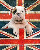 Xavier, ANIMALS, REALISTISCHE TIERE, ANIMALES REALISTICOS, dogs,union jack, photos+++++,SPCHDOGS997,#a#