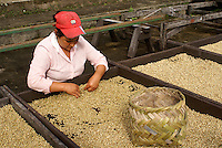 Female worker sorting coffee beans at the Finca Selva Negra coffee plantation near Matagalpa, Nicaragua