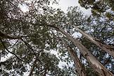 USA, California, Big Sur, Esalen, Eucalyptus Trees at the Esalen Institute