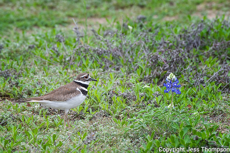 Killdeer in bluebonnet field, Burnet County, TX