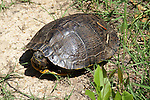 This box turtle peeks out to see if he needs to close up his shell completely.  He seemed lost, so we gave him a lift back to the river.