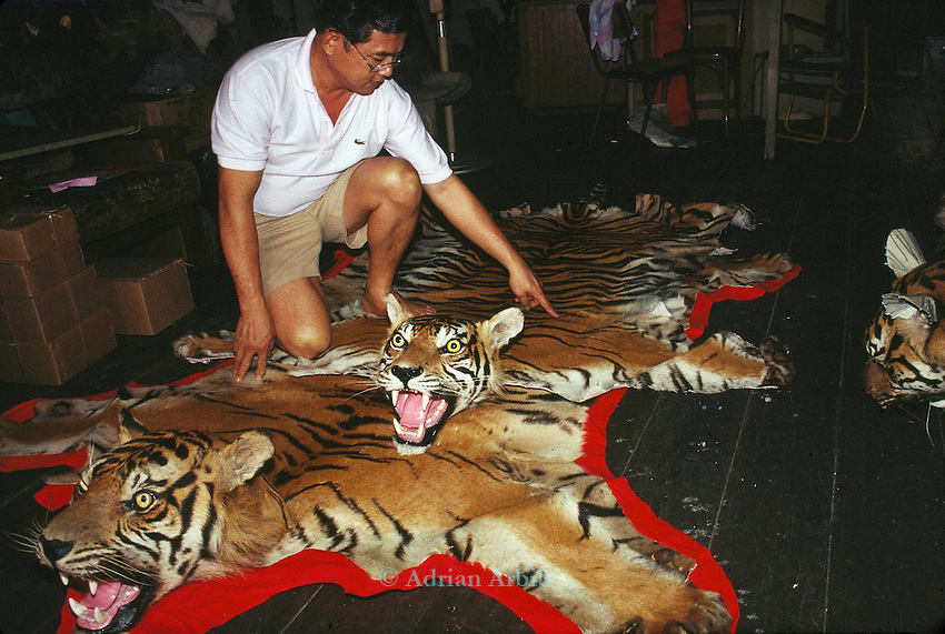 Sumatran Tiger  skins in a Singapore skin  trader's shop.  .This man claimed that he could supply 15 skins a month  which  effcetively would wipe out  the entire Sumatran Tiger population.