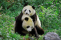 Two younger Giant Pandas being playful (Ailuropoda melanoleuca) in .bamboo forest of central China.