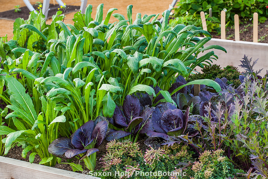 Winter greens, edible leafy vegetables with 'Early Mibuna' Spinach Mustard, (tall), Red Komatsuna, purple mustard; and Purple Mizuna (right)