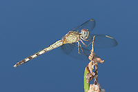 Band-winged Dragonlet (Erythrodiplax umbrata) Dragonfly - Female, Jonathan Dickinson State Park, Hobe Sound, Florida