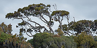 Native Rimu tree in South Westland, West Coast, New Zealand, NZ