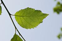 Kultur-Apfel, Apfel, Apfel-Baum, Apfelbaum, Blatt, Blätter vor blauem Himmel, Malus domestica, Apple