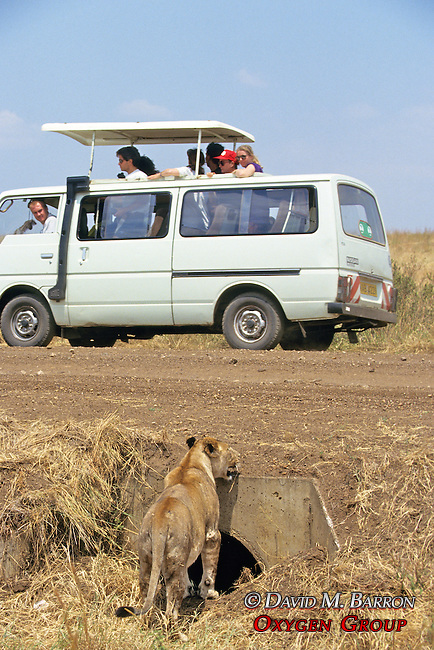 People Watching Lioness Near Culvert