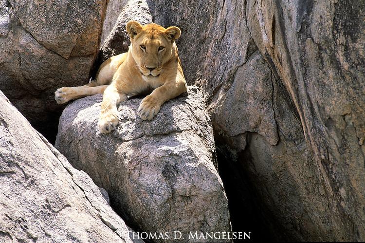 Lioness (Panthera leo) rests on a rock. Serengeti National Park - Tanzania