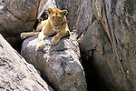 Lioness (Panthera leo) rests on a rock. Serengeti National Park - Tanzania