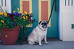 Pugs waiting at the doorside