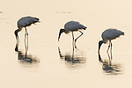 Ding Darling National Wildlife Refuge, Sanibel Island, Florida; three wood storks reflect in the shallow water while foraging for food, backlit by early morning sunlight