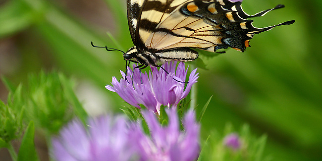 A close up of an Eastern Tiger Swallowtail sipping from a lavendar flower against a multi-green and lavendar background. This photo is available as a 20x40 upon request.