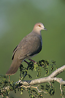White-tipped Dove, Leptotila verreauxi,adult on Texas Ebony (Pithecellobium flexicaule), Starr County, Rio Grande Valley, Texas, USA