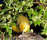 WB07-015z  Yellow Warbler repairing nest with beak, Dendroica petechia aestiva [aestiva group]