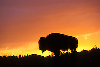 Bull BISON (Bison bison) silhouetted by sunset.  Western U.S., summer.