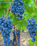 Clusters of red wine grapes in a vineyard ready for picking with bright green leaves on grapevines