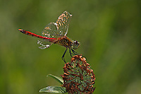 Sumpf-Heidelibelle, Sumpfheidelibelle, Männchen, Sympetrum depressiusculum, Spotted Darter, male, Sympétrum déprimé