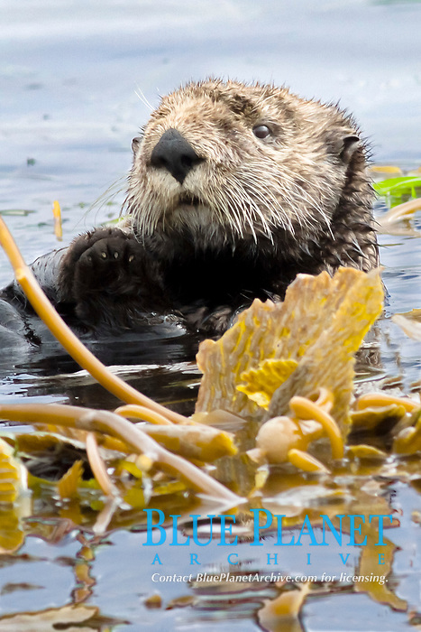southern sea otter, Enhydra lutris nereis, wraps itself in giant kelp, Macrocystis pyrifera, to prevent the current from moving it while it rests, Monterey Bay, Monterey, California, USA, Pacific Ocean