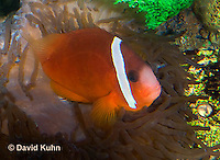 0322-1101  Tomato Clownfish, Amphiprion frenatus, with Bubble-tip Anemone, Entacmaea quadricolor  © David Kuhn/Dwight Kuhn Photography