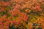 Bigtooth Maple, Acer grandidentatum, Zion Canyon, Zion National Park, Utah