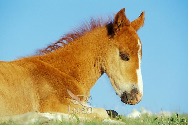 Wild Horse colt rests.  Western U.S., summer..(Equus caballus)